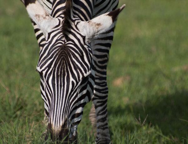 Minne safarille